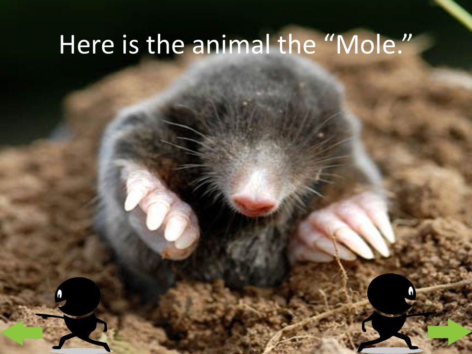 Here is the animal the Mole.