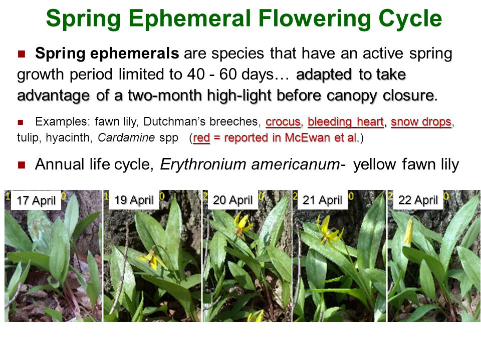 Spring Ephemeral Flowering Cycle Background: Spring Ephemerals