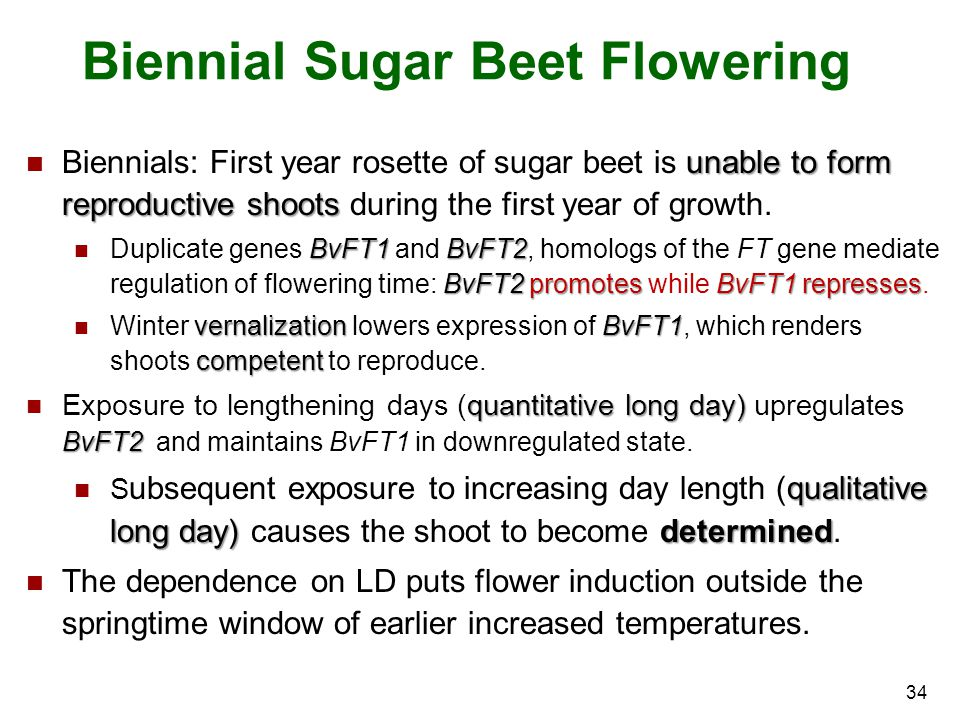 Biennial Sugar Beet Flowering