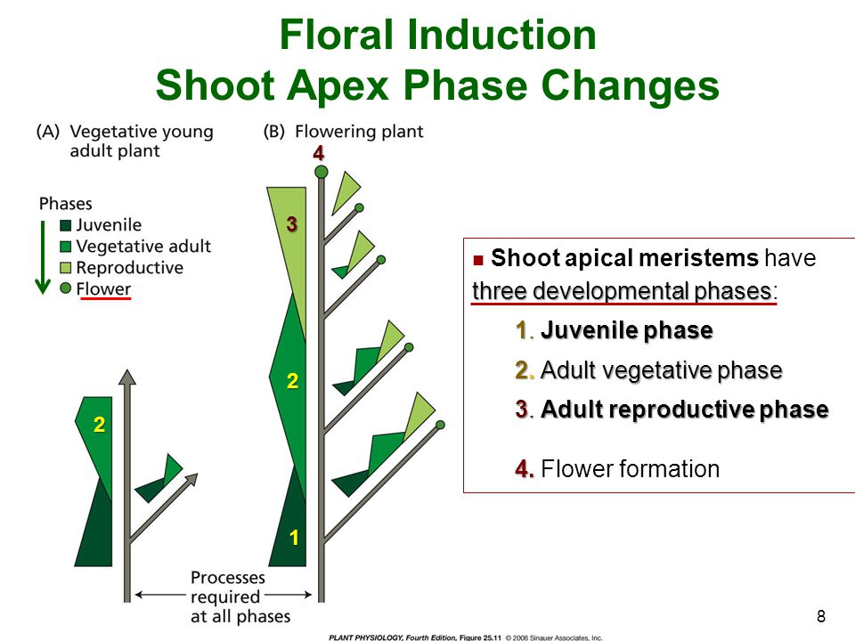 Shoot Apex Phase Changes