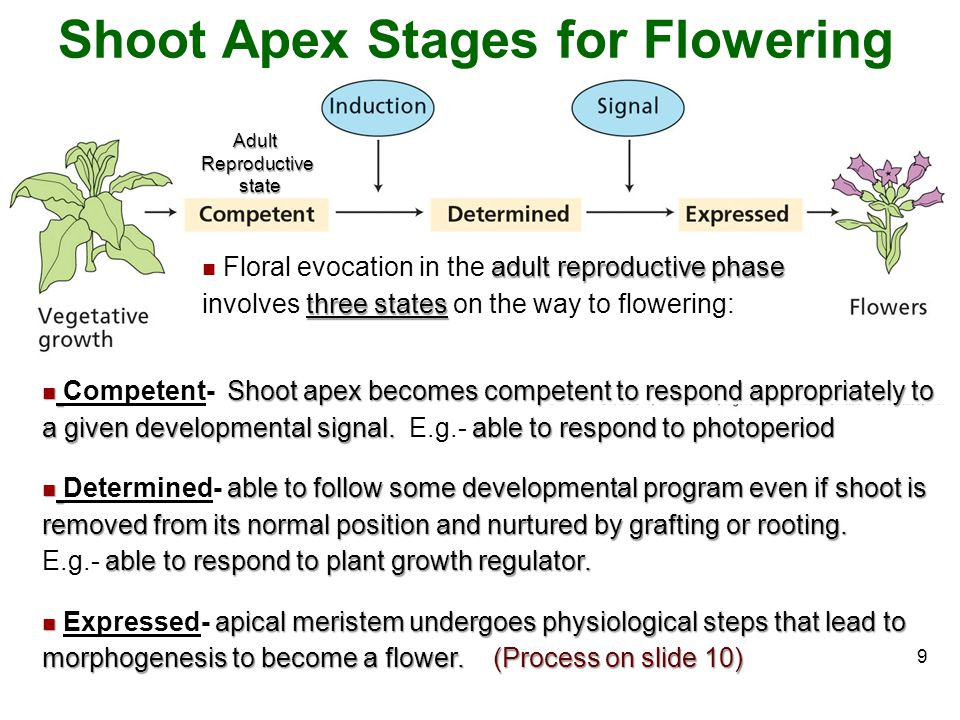 Shoot Apex Stages for Flowering