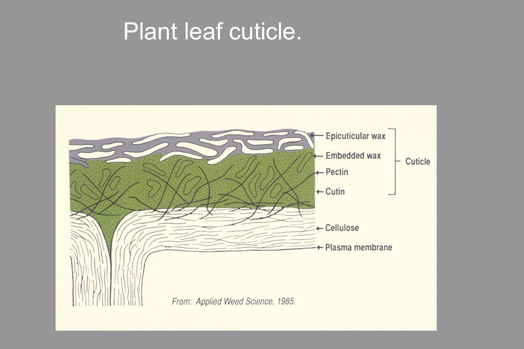 Plant leaf cuticle.