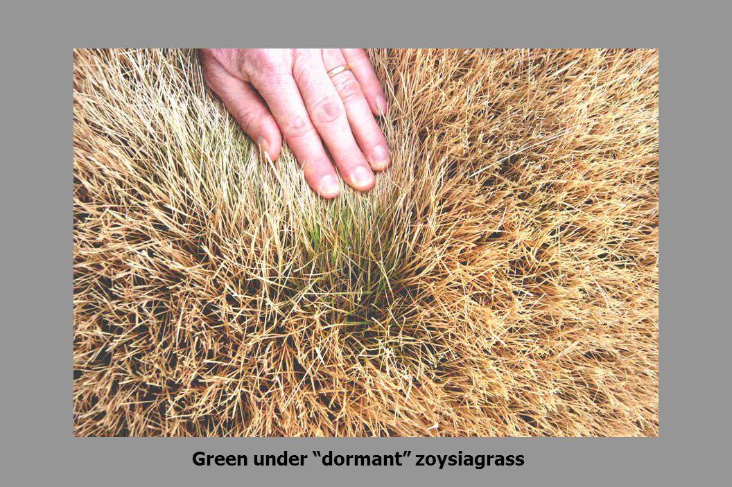 Green under dormant zoysiagrass