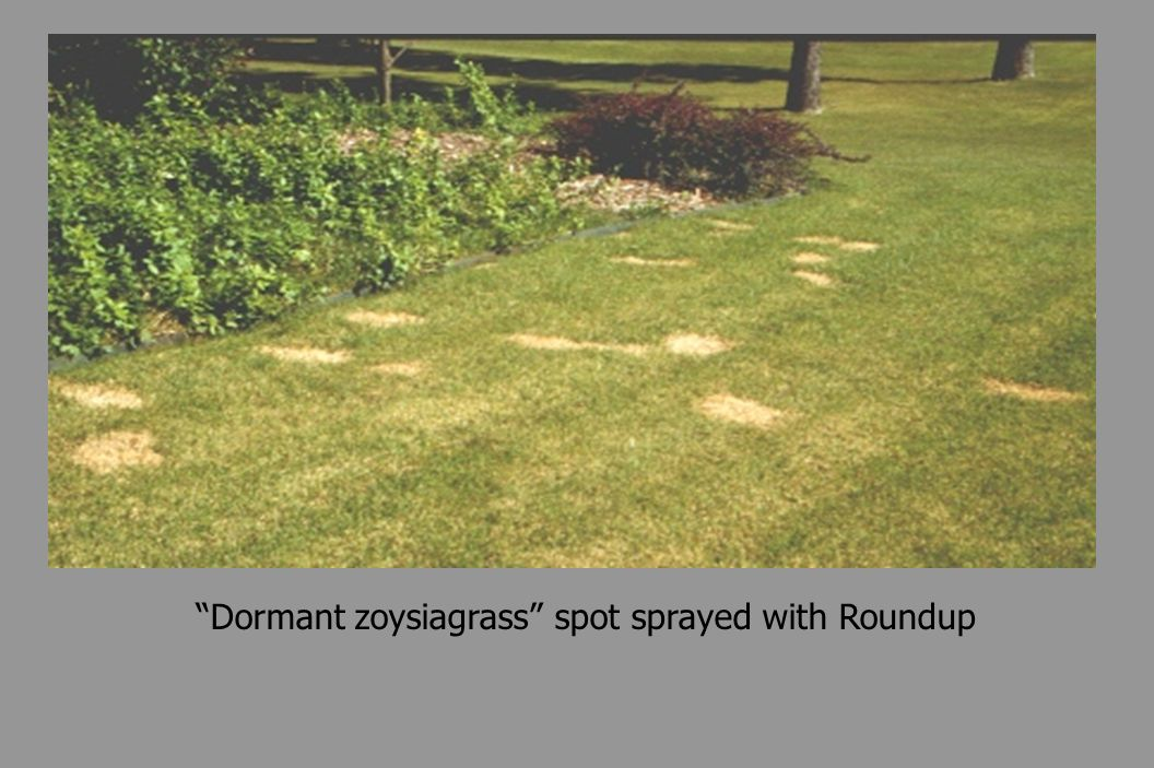 Dormant zoysiagrass spot sprayed with Roundup