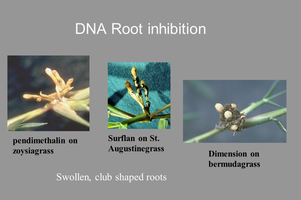 DNA Root inhibition Swollen, club shaped roots