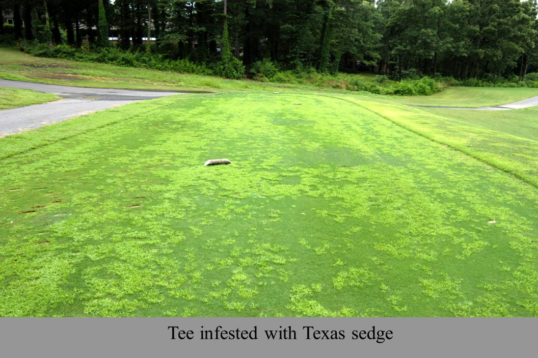 Tee infested with Texas sedge