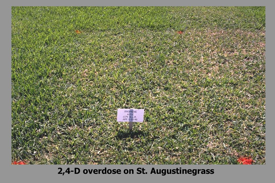 2,4-D overdose on St. Augustinegrass
