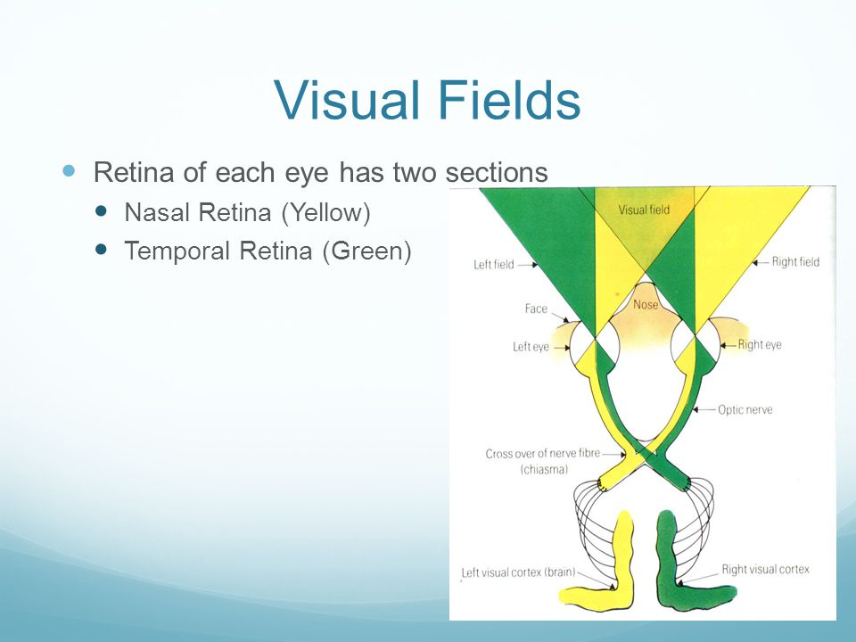 Visual Fields Retina of each eye has two sections