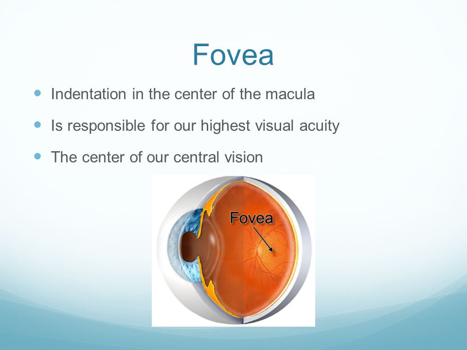 Fovea Indentation in the center of the macula
