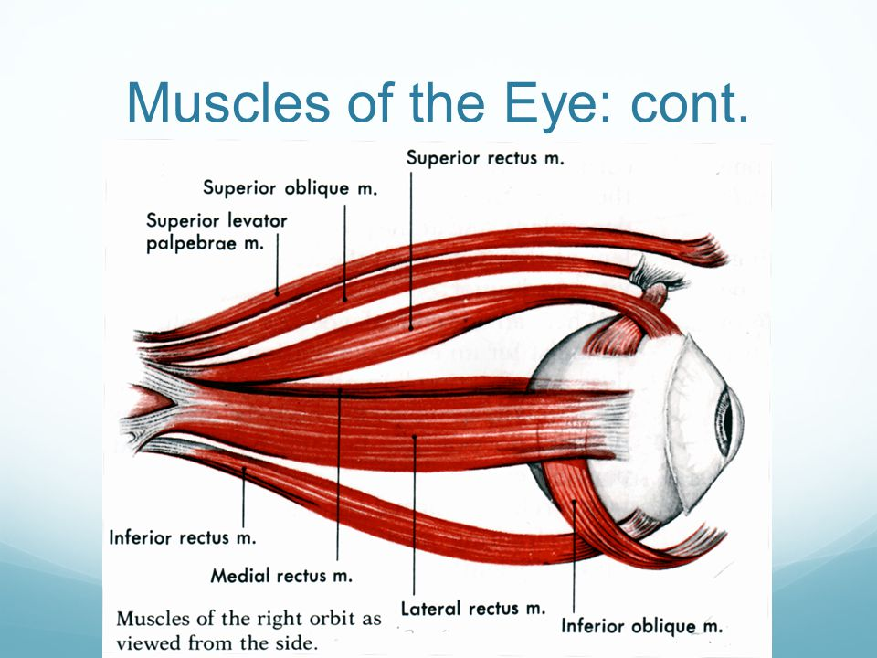 Muscles of the Eye: cont.