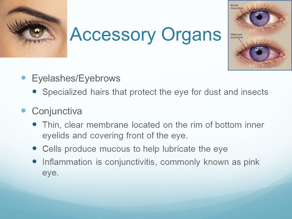 Accessory Organs Eyelashes/Eyebrows Conjunctiva