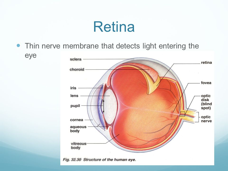 Retina Thin nerve membrane that detects light entering the eye