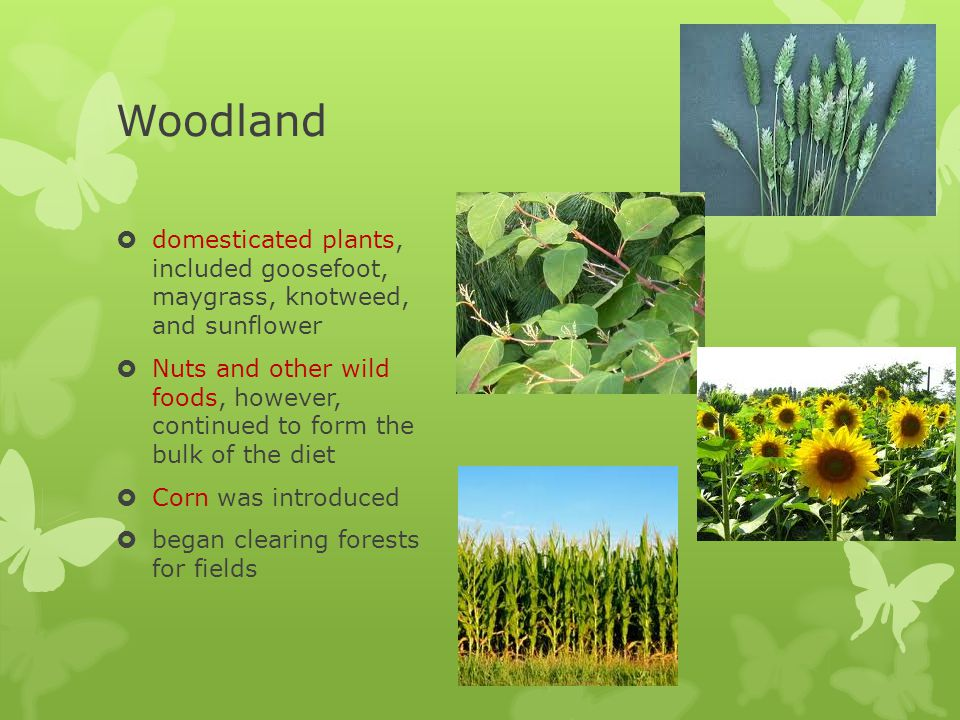 Woodland domesticated plants, included goosefoot, maygrass, knotweed, and sunflower.