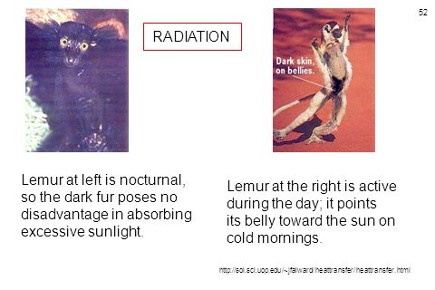 RADIATION Lemur at left is nocturnal, so the dark fur poses no disadvantage in absorbing excessive sunlight.