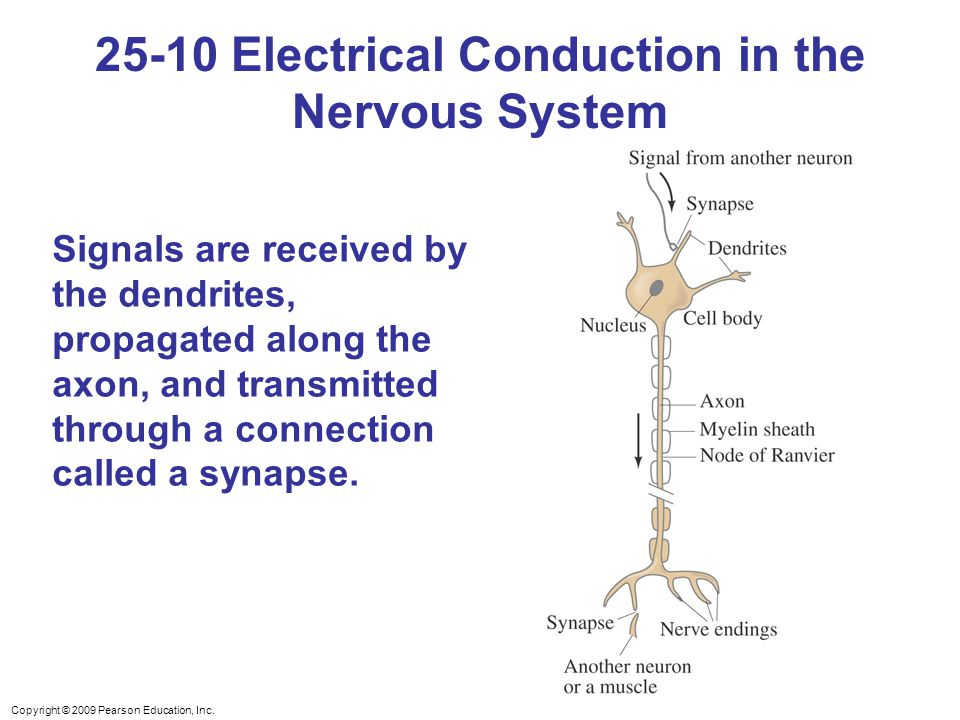 25-10 Electrical Conduction in the Nervous System