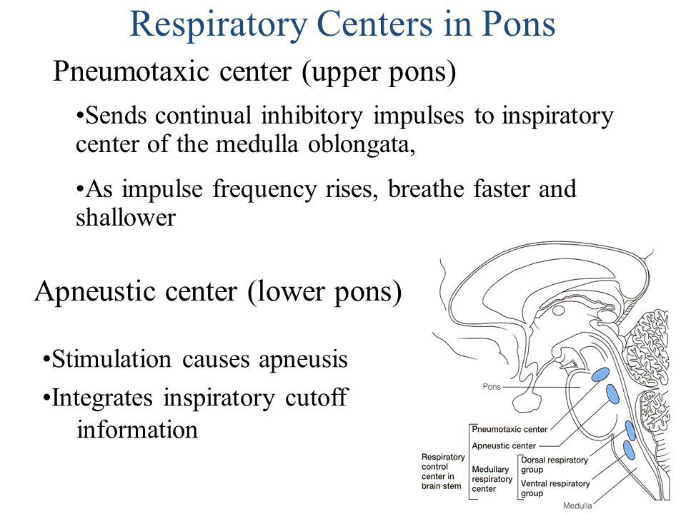 Respiratory Centers in Pons