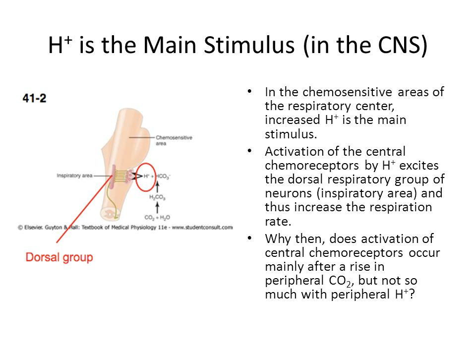H+ is the Main Stimulus (in the CNS)