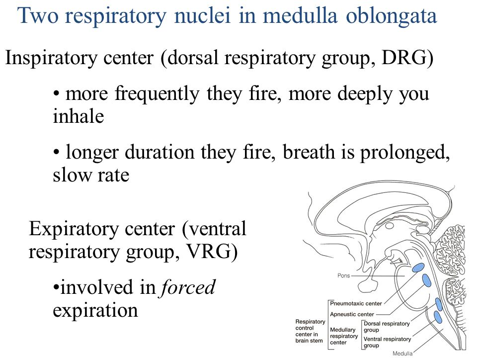 Two respiratory nuclei in medulla oblongata