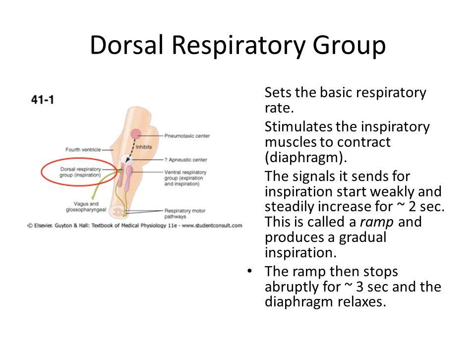 Dorsal Respiratory Group