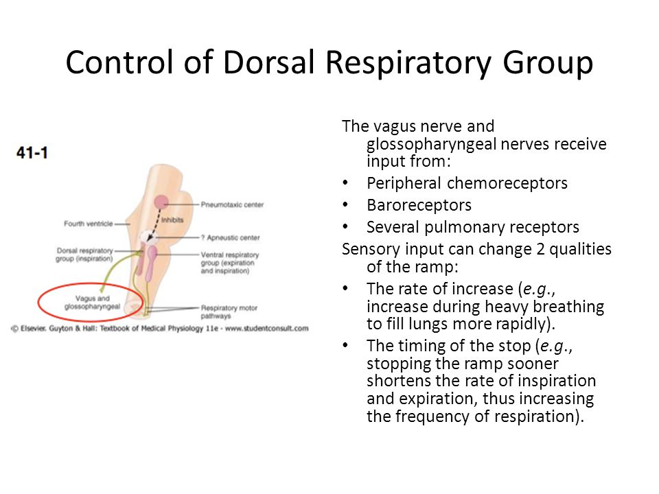 Control of Dorsal Respiratory Group