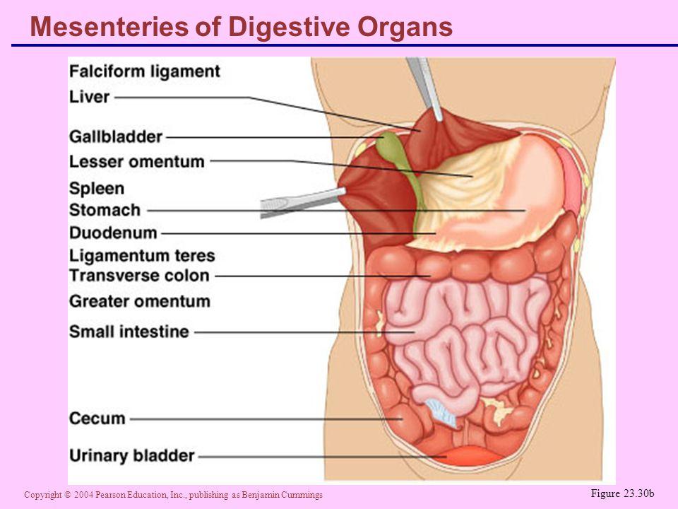 Mesenteries of Digestive Organs