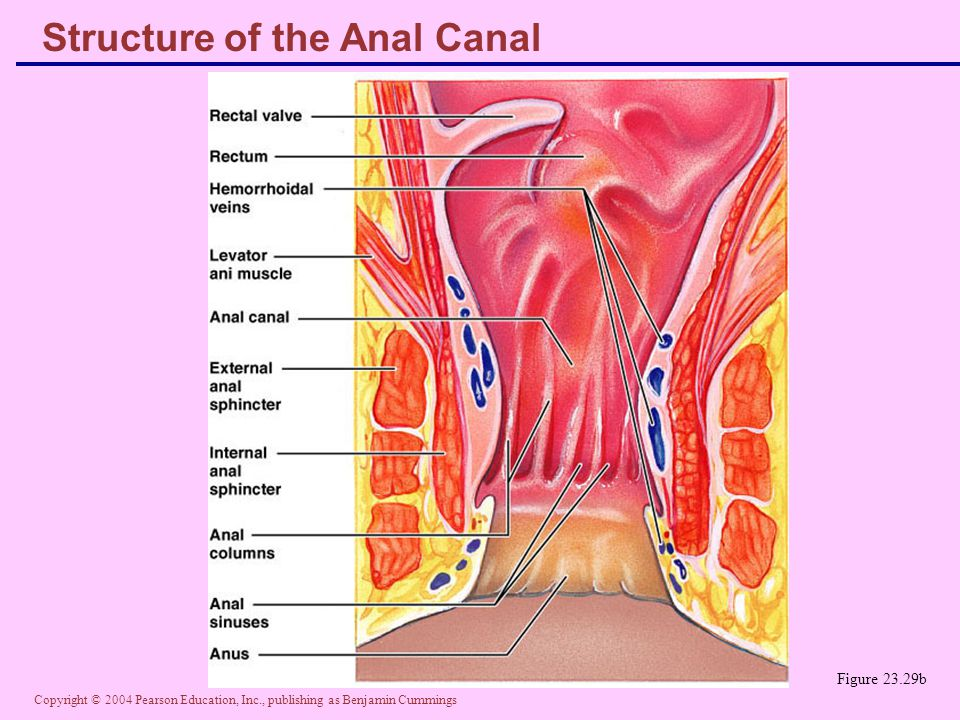 Structure of the Anal Canal