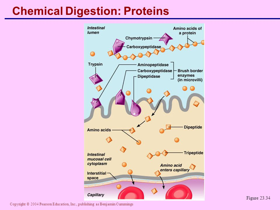 Chemical Digestion: Proteins