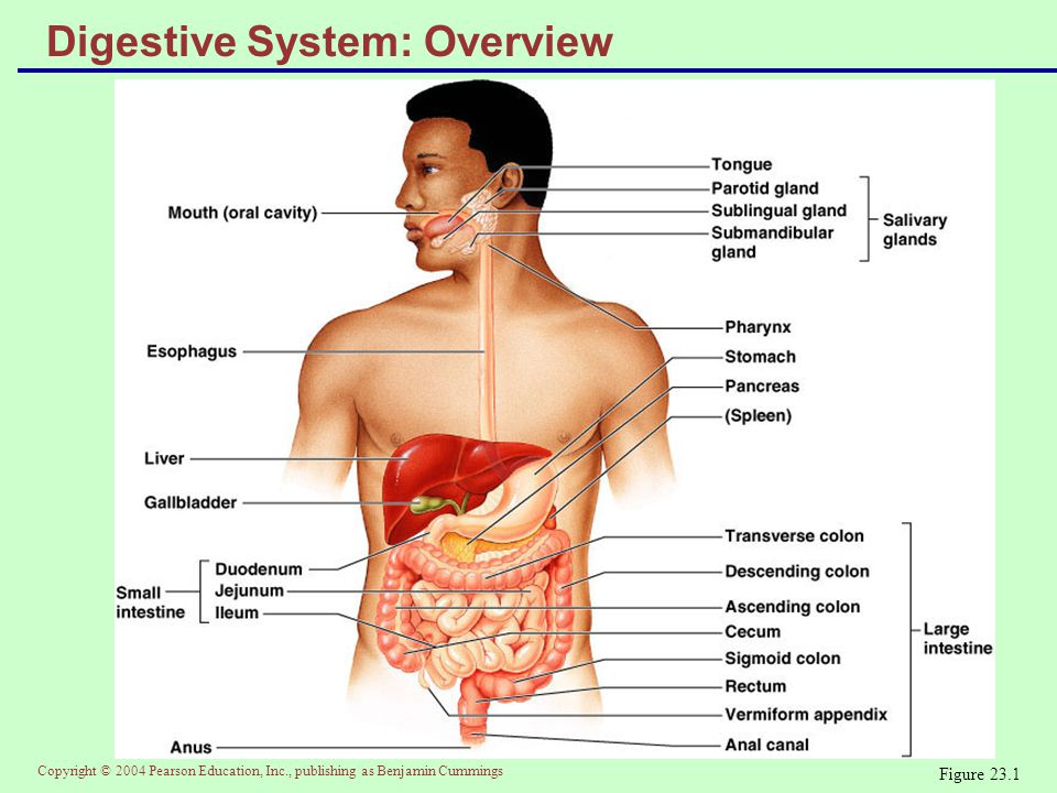 Digestive System: Overview