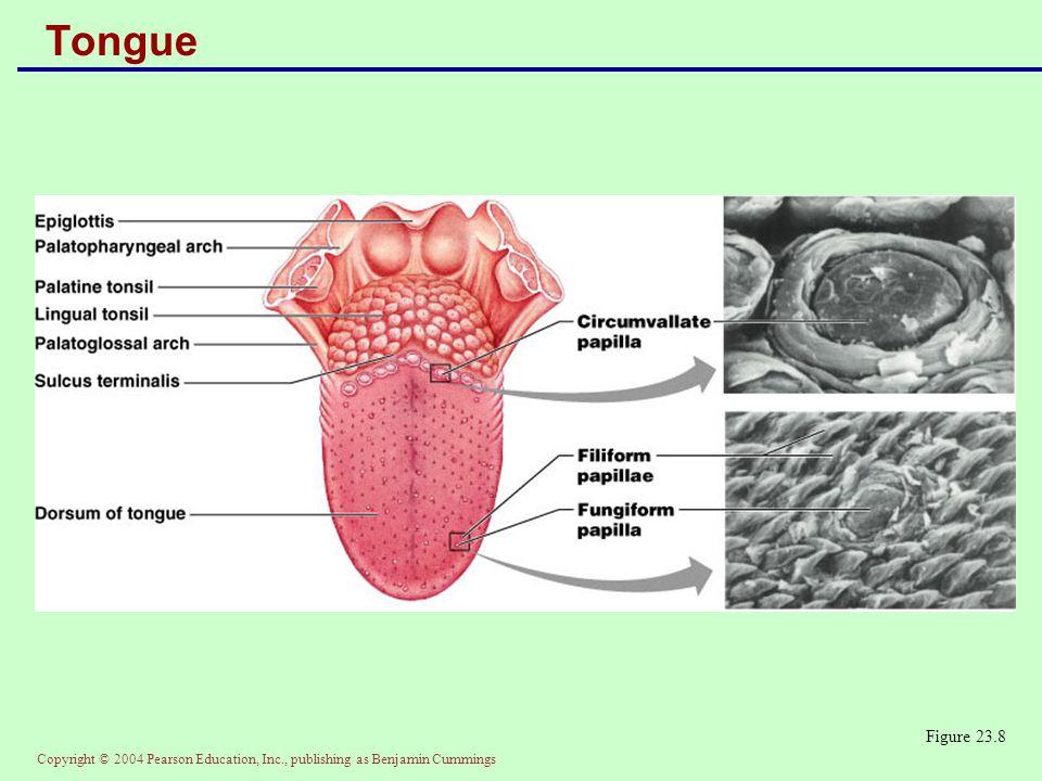 Tongue Figure 23.8