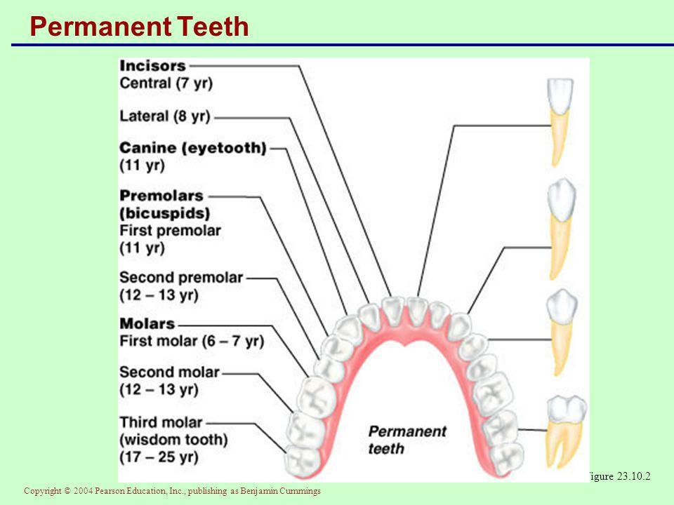 Permanent Teeth Figure 23.10.2