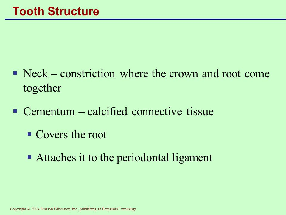 Neck – constriction where the crown and root come together