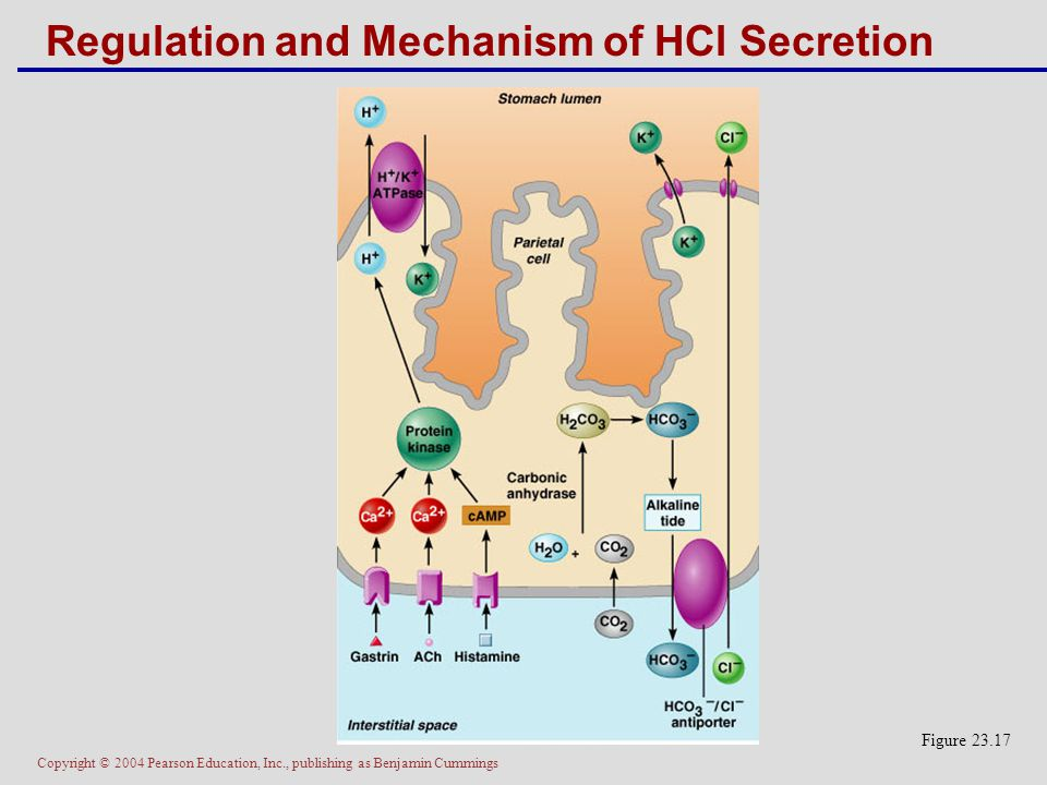 Regulation and Mechanism of HCl Secretion