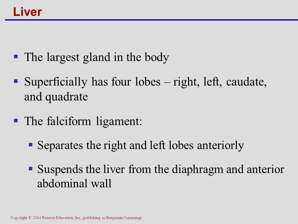 The largest gland in the body