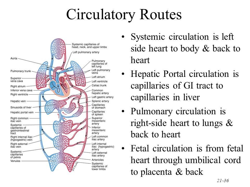 Circulatory Routes Systemic circulation is left side heart to body & back to heart.