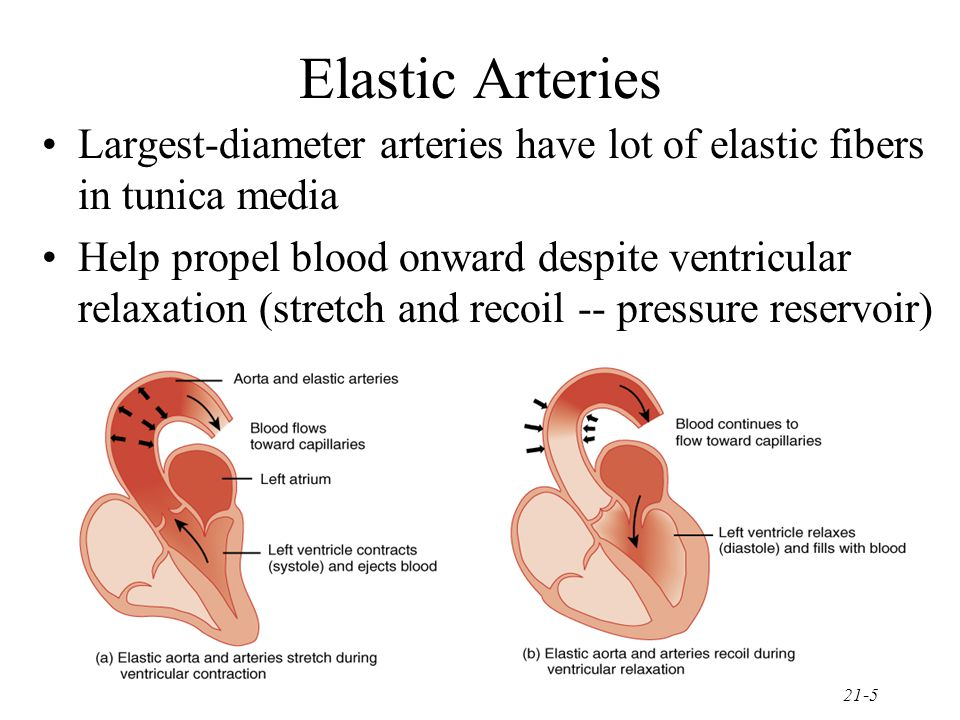 Elastic Arteries Largest-diameter arteries have lot of elastic fibers in tunica media.