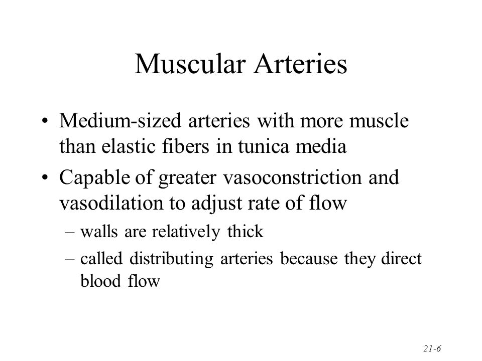 Muscular Arteries Medium-sized arteries with more muscle than elastic fibers in tunica media.