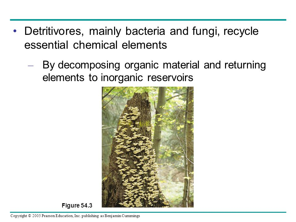 Detritivores, mainly bacteria and fungi, recycle essential chemical elements