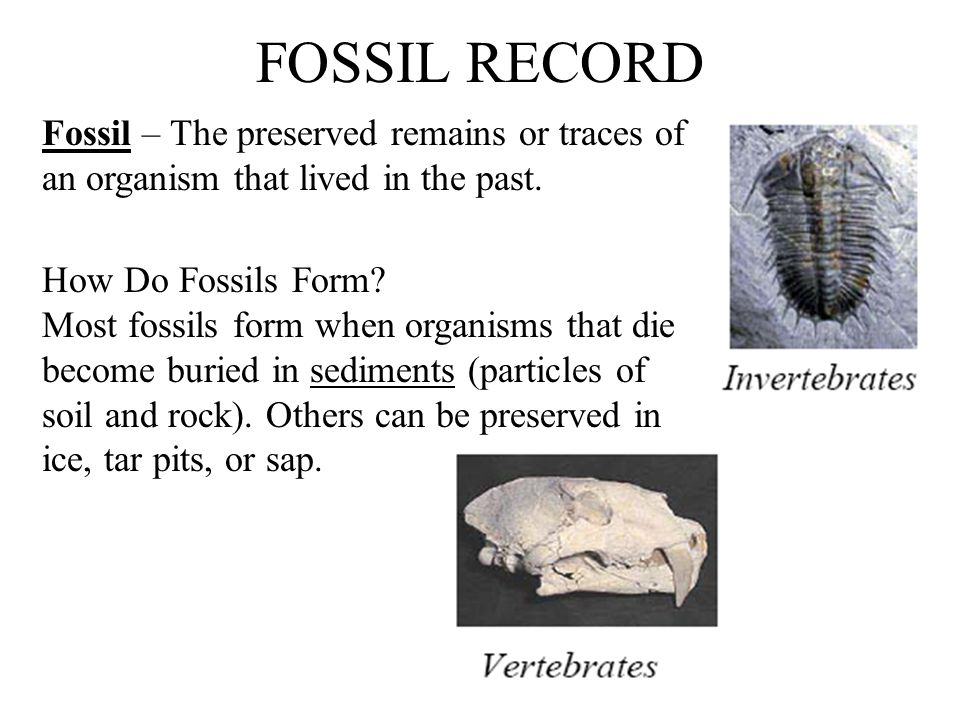 FOSSIL RECORD Fossil – The preserved remains or traces of an organism that lived in the past. How Do Fossils Form