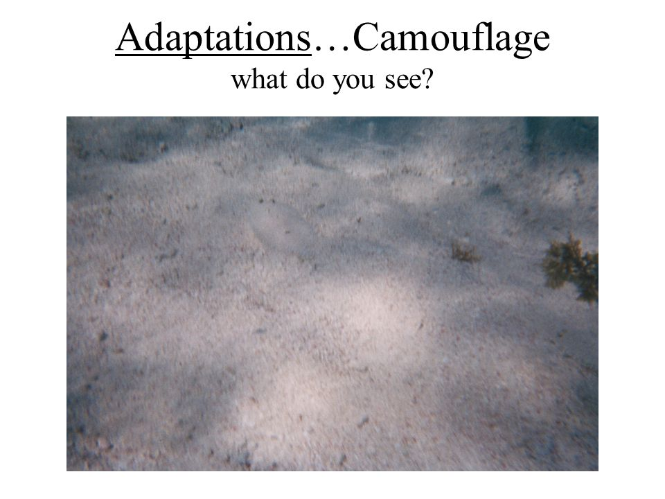 Adaptations…Camouflage what do you see