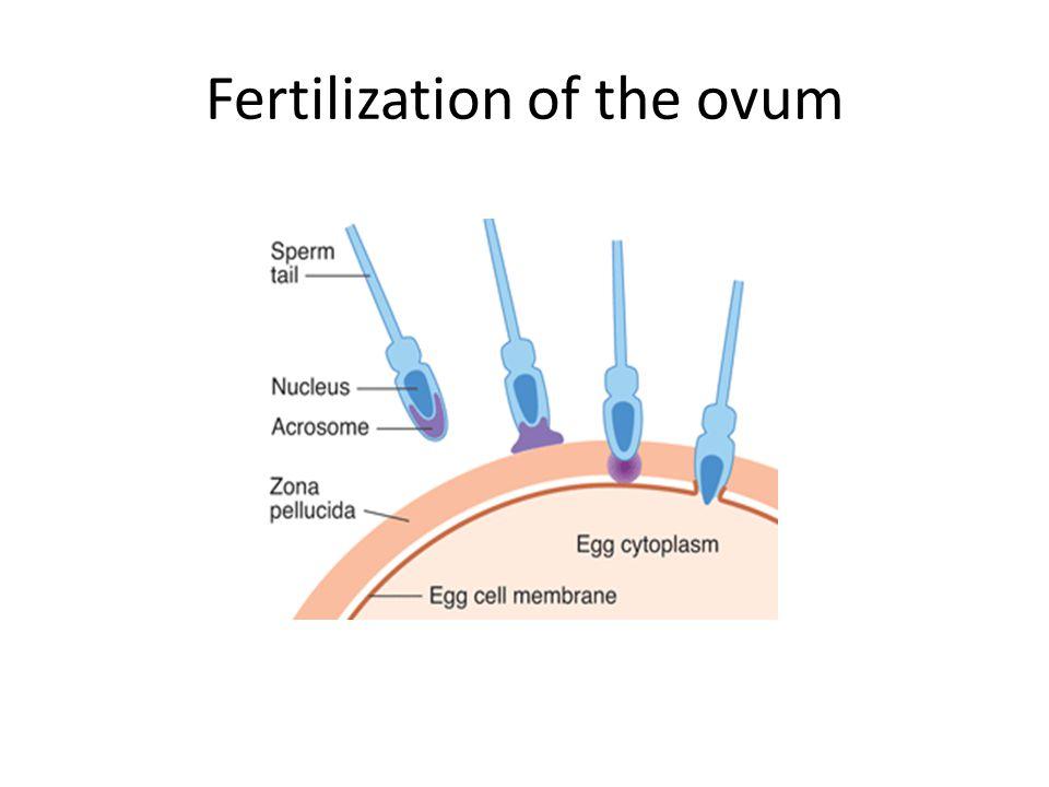Fertilization of the ovum