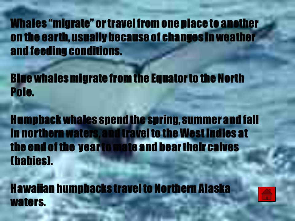 Whales migrate or travel from one place to another on the earth, usually because of changes in weather and feeding conditions.
