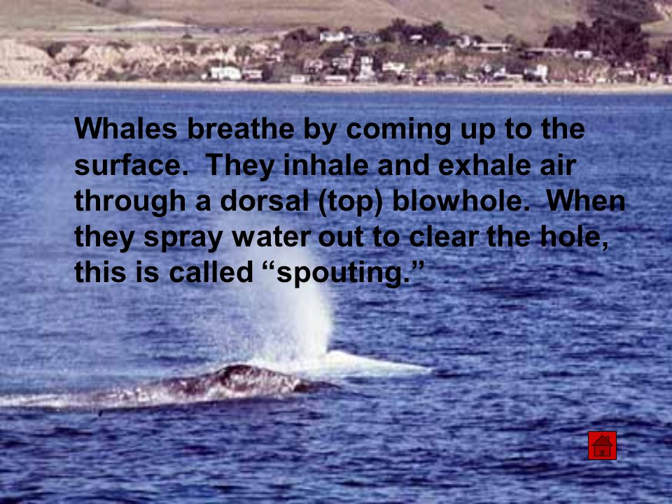 Whales breathe by coming up to the surface