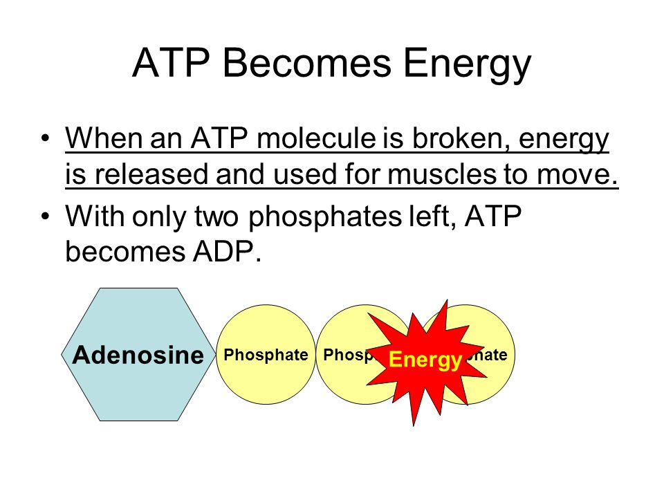 ATP Becomes Energy When an ATP molecule is broken, energy is released and used for muscles to move.
