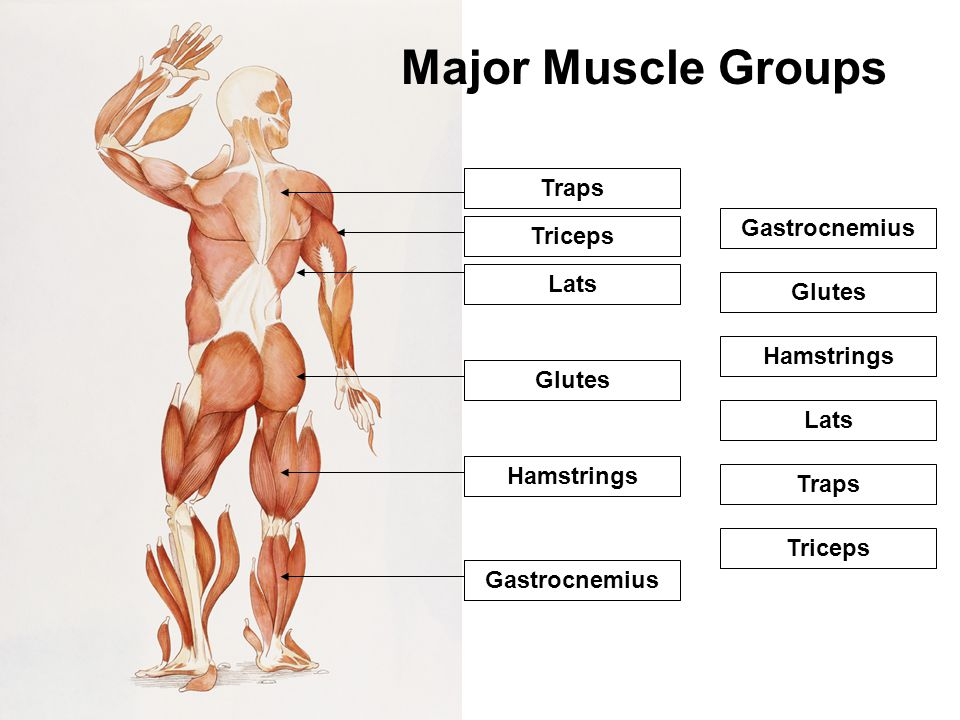 Major Muscle Groups 1 Traps Gastrocnemius 2 Triceps Lats 3 Glutes