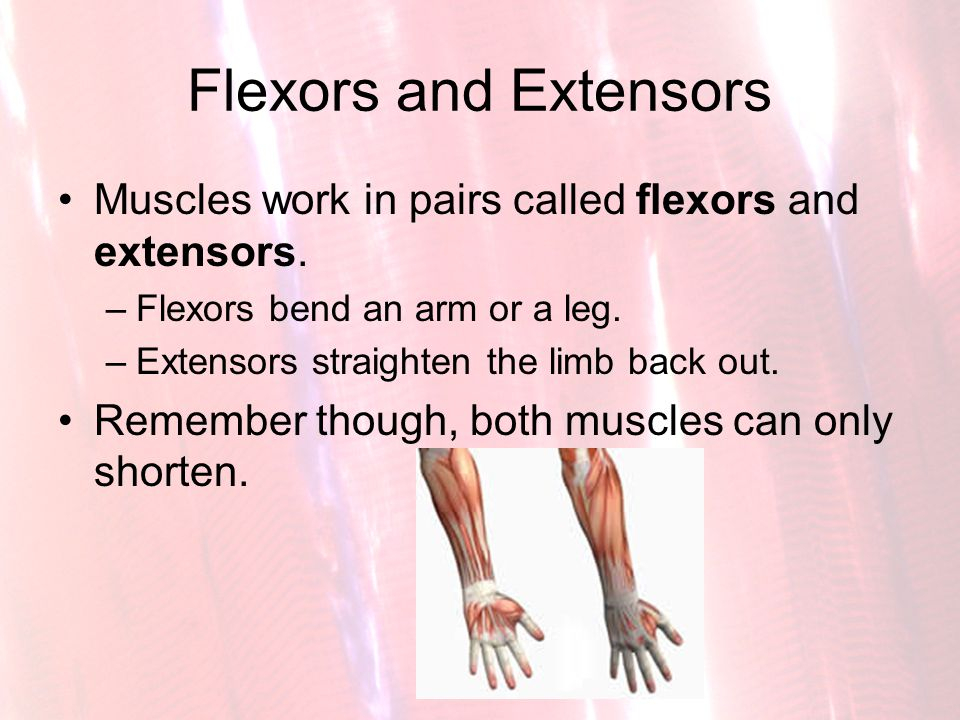 Flexors and Extensors Muscles work in pairs called flexors and extensors. Flexors bend an arm or a leg.