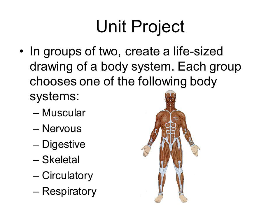Unit Project In groups of two, create a life-sized drawing of a body system. Each group chooses one of the following body systems: