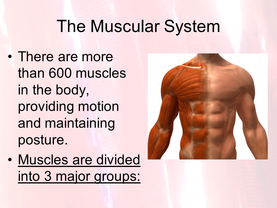The Muscular System There are more than 600 muscles in the body, providing motion and maintaining posture.