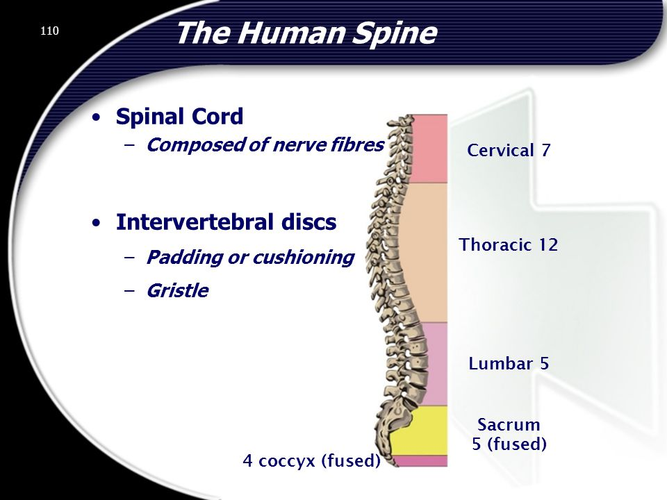 The Human Spine Spinal Cord Intervertebral discs