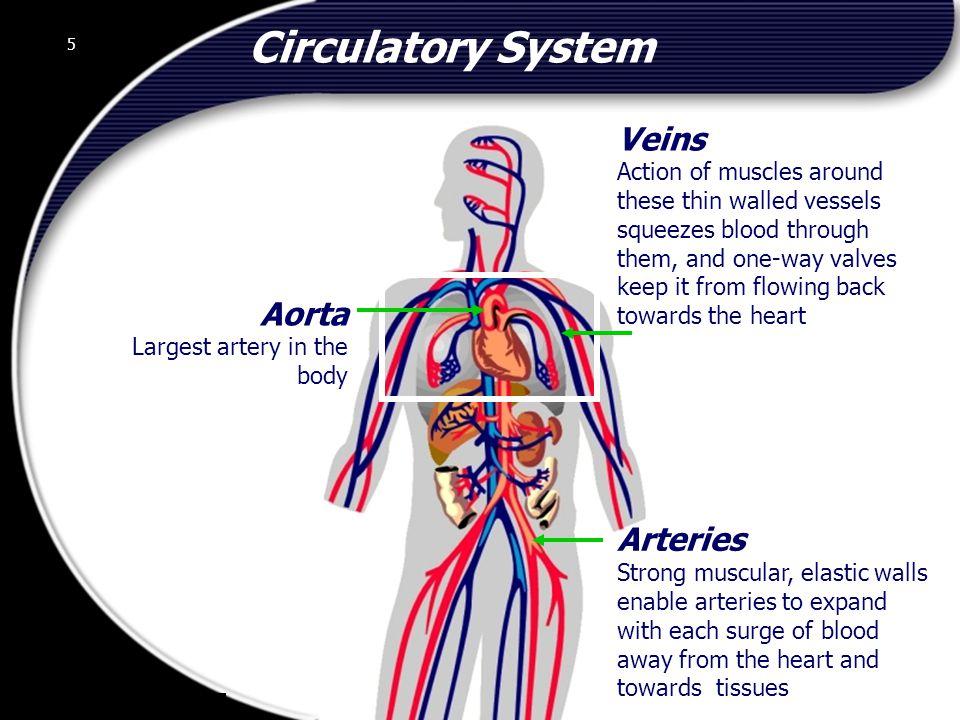 Circulatory System Veins Aorta Arteries