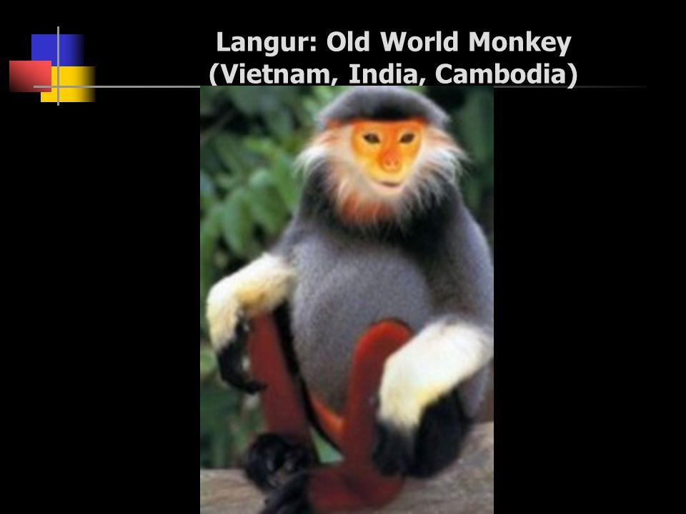 Langur: Old World Monkey (Vietnam, India, Cambodia)